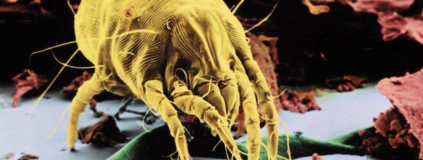Abbildung einer Hausstaubmilbe bei Hausstaubmilbenallergie, verstopfte Nase, Hyposensibilisierung