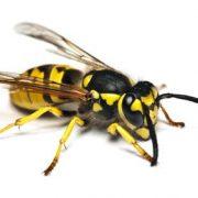 Wespenallergie Anaphylaxie Wespengiftallergie Wespe